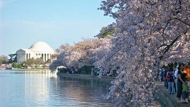 Oltre 1 milione di visitatori ogni anno passeggia per le rive fiorite del Potomac e del Tidal basin