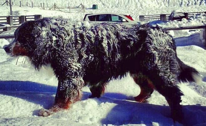 neve bovaro bernese corsa