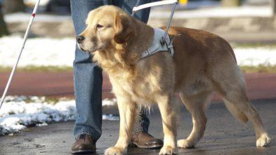 Il carattere del cane guida per le persone non vedenti