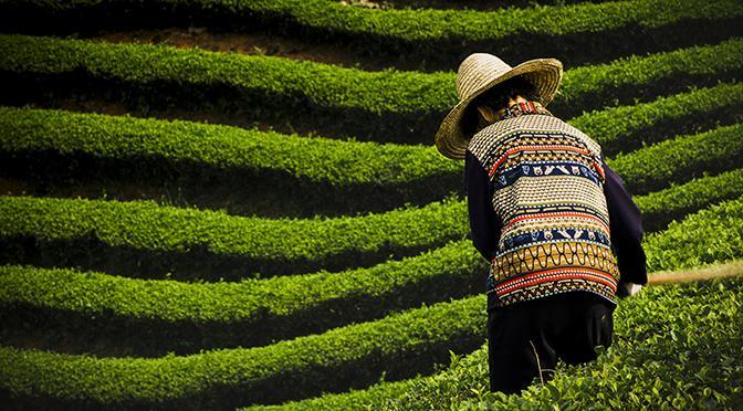 I giardini del tè di Dazhangshan | Premio Carlo Scarpa per il Giardino