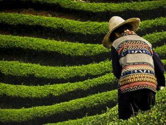 I giardini del tè