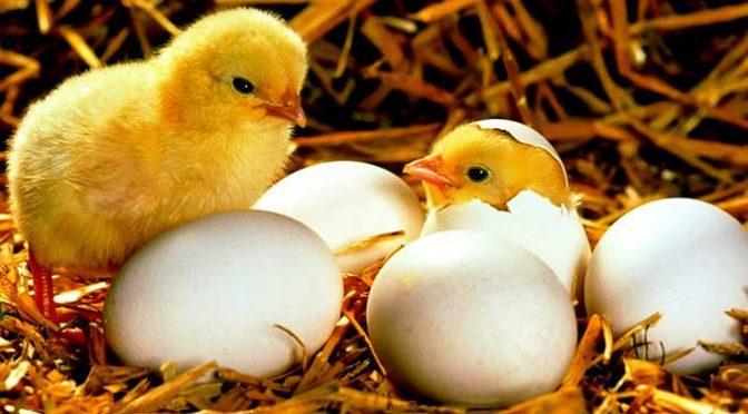I pulcini nascono capaci di riconoscere ed evitare i pericoli